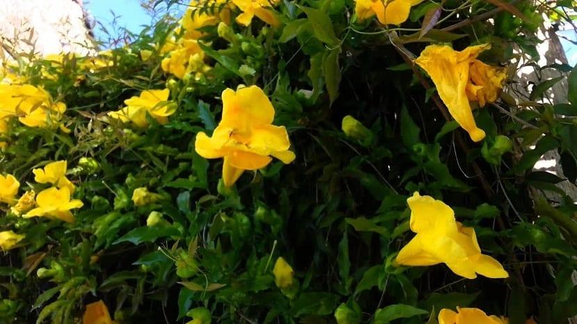 arbusto de la planta uña de gato o Uncaria tomentosa con flores amarillas