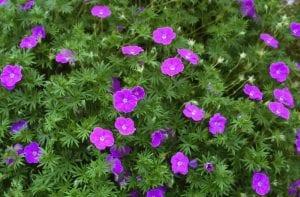 arbusto lleno de pequeñas flores rosas
