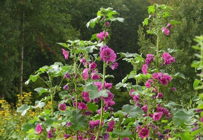 arbustos alto lleno de flores llamado Malva sylvestris