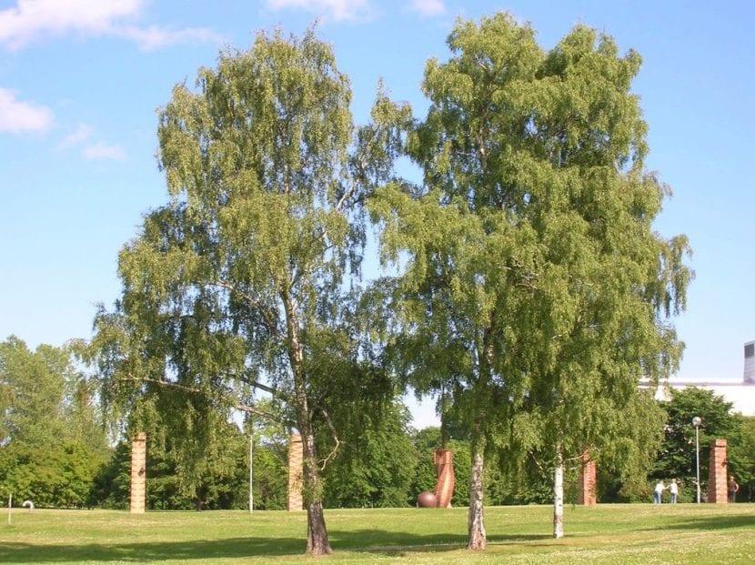 Vista del Betula pendula en un jardín