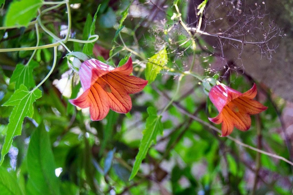 Vista de las flores del bicacaro