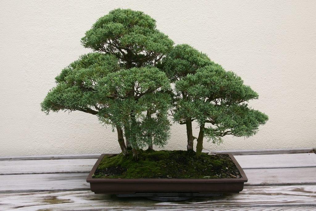 El Juniperus chinensis se puede trabajar como bonsai