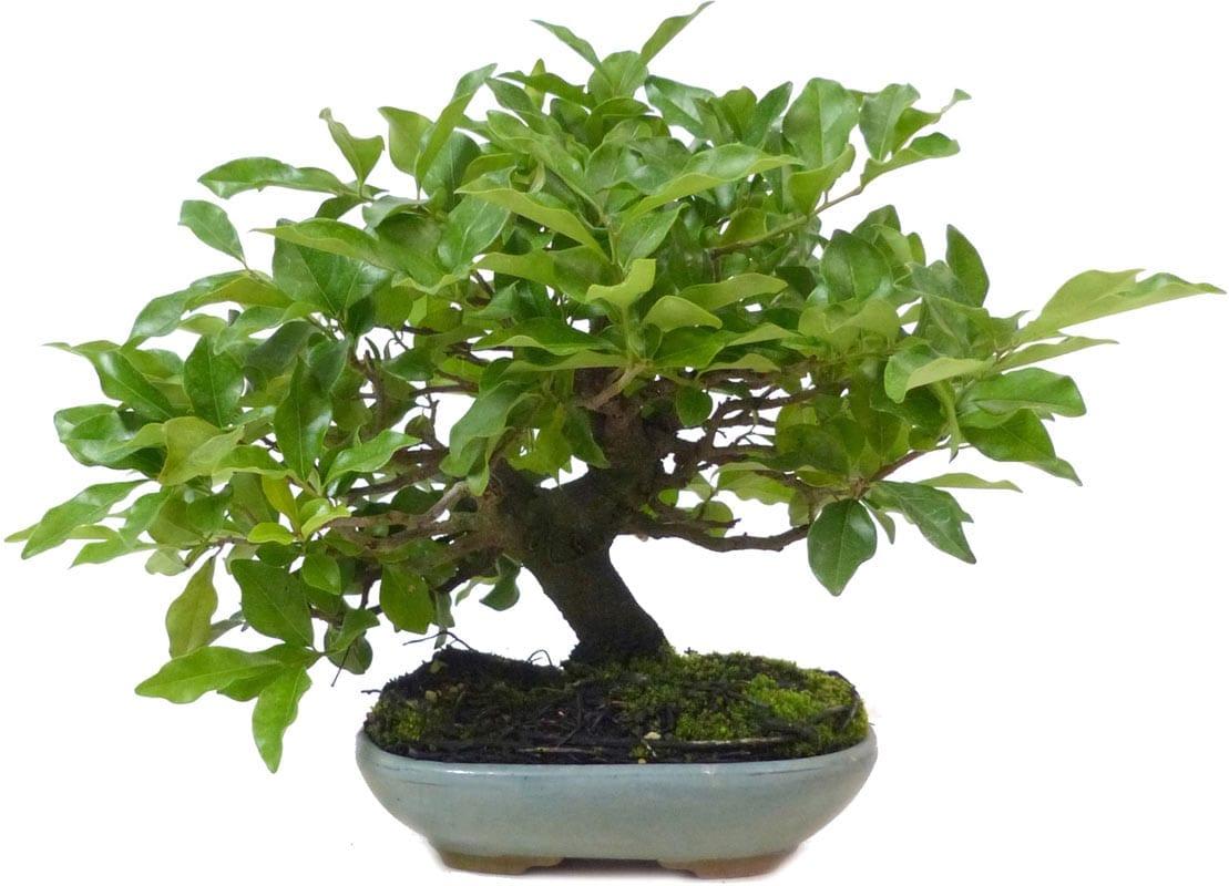 Vista de un bonsái de caqui