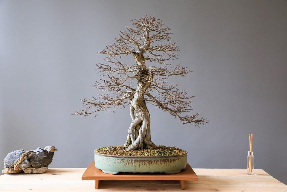 El olmo se puede trabajar como bonsai