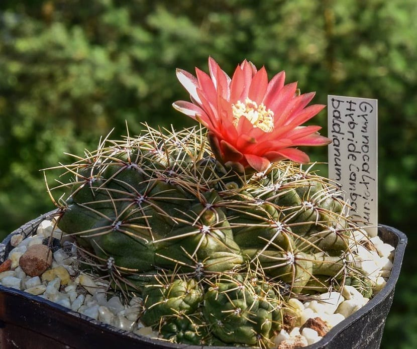 cactus con flor roja y espinas