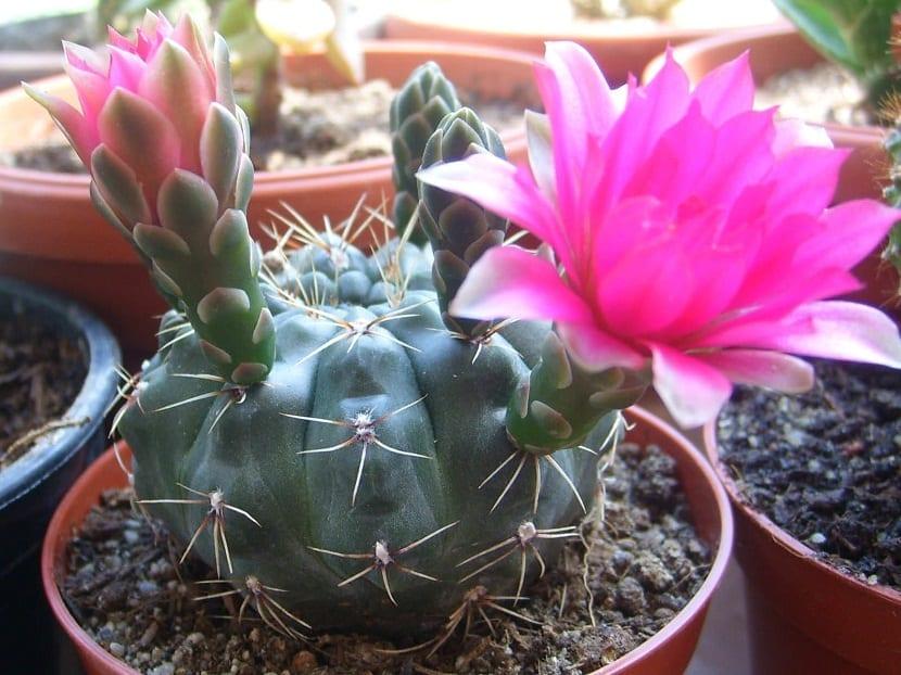 cactus en maceta Gymnocalyciums baldianum en maceta
