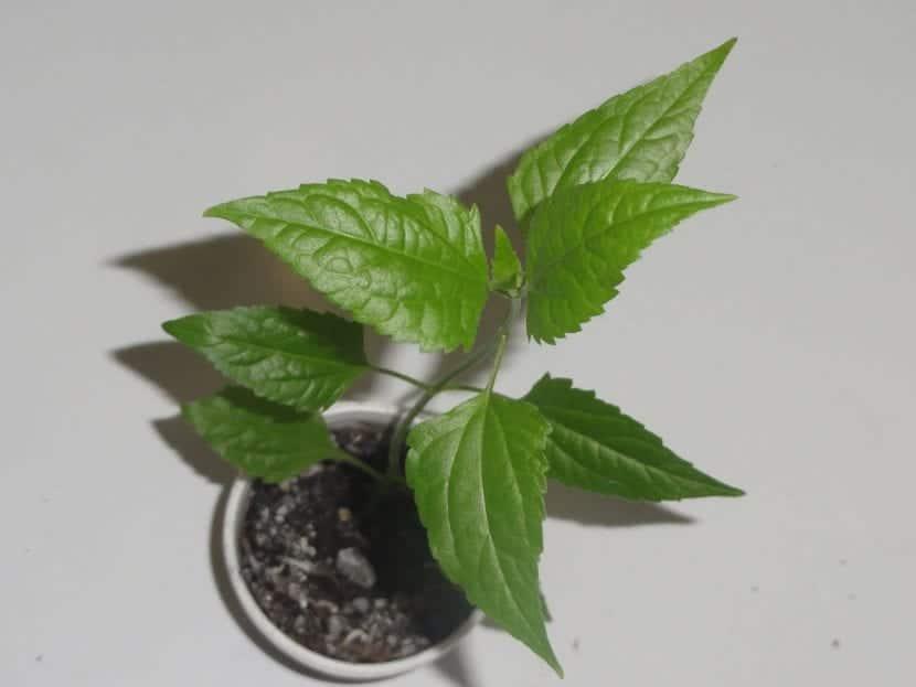 La Calea se puede cultivar en maceta