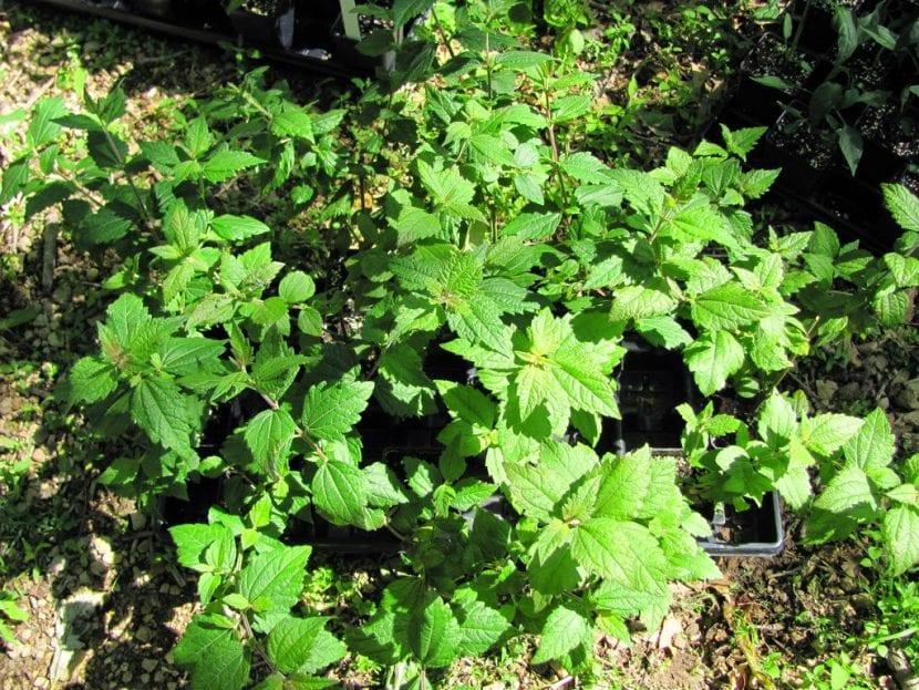 La Calea zacatechichi es una planta medicinal