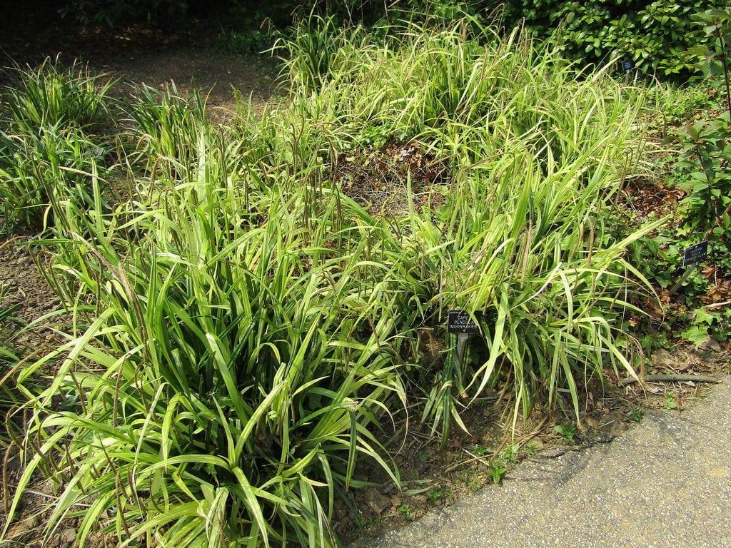 Vista del Carex pendula
