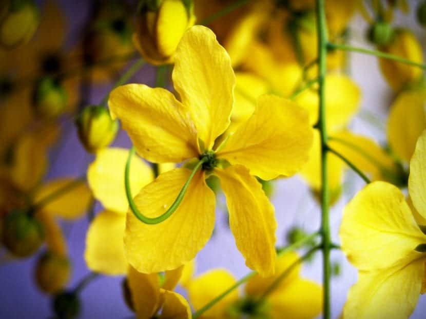 Las flores de la Cassia fistula son amarillas