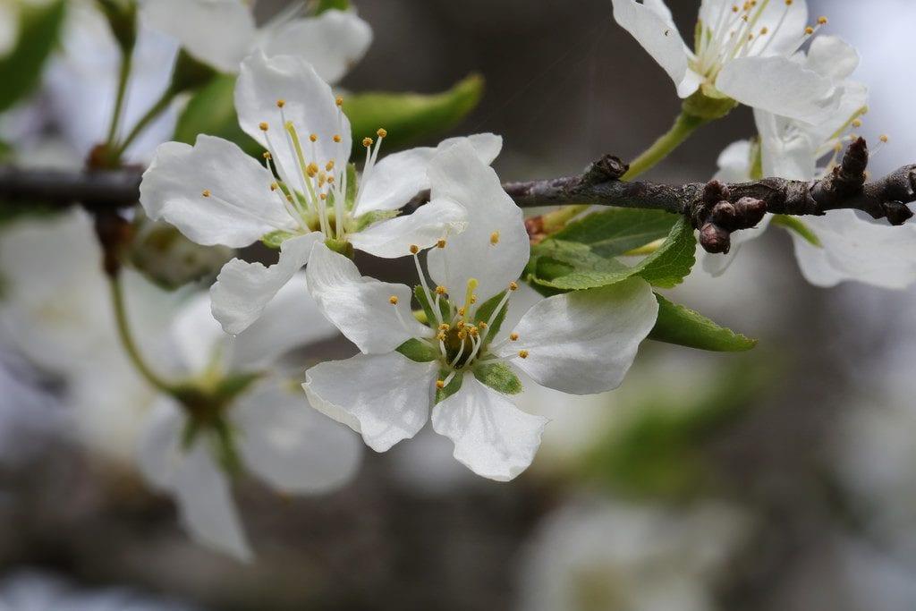 Las flores del ciruelo japonés son blancas