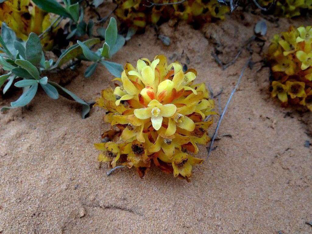 Las flores del Cytinus son amarillas