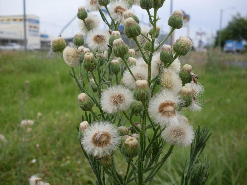 Las semillas de la Conyza son plumosas