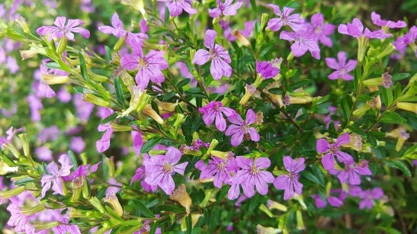 Las flores de la Cuphea son lilas