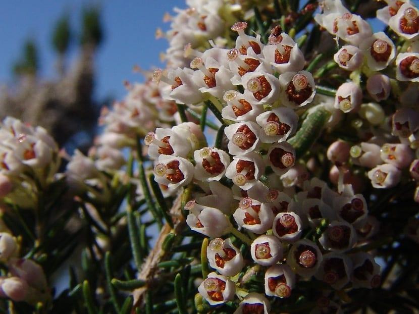 detalle de las flores de erica arborea