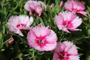Las flores de los Dianthus son muy alegres