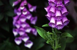 La planta de Digitalis purpurea se puede cultivar en maceta