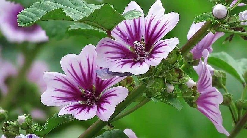 dos flores abiertas y de cerca de un color morado de la planta Malva sylvestris