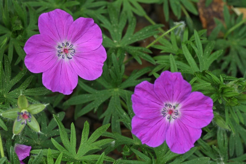 dos flores de color rosa llamadas Geranium Sanguineum