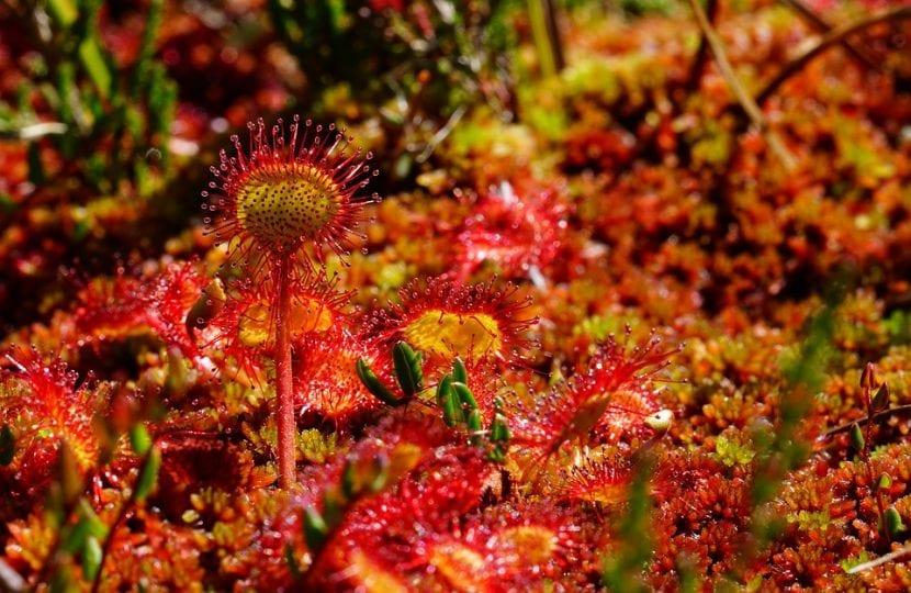 Vista de la Drosera rotundifolia en hábitat