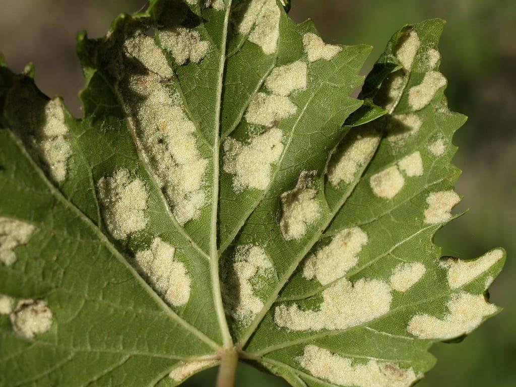 Síntomas de erinosis en hojas de vid