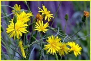 Las flores de la escorzonera son amarillas