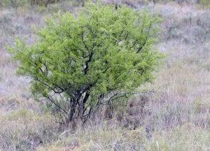 El espino negro es un arbusto perennifolio