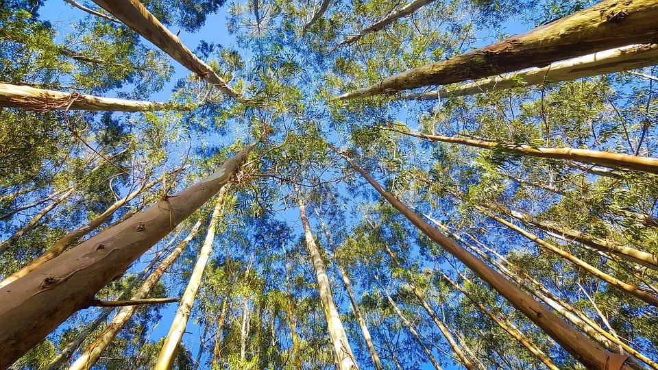 Los eucaliptos crecen muy rápido