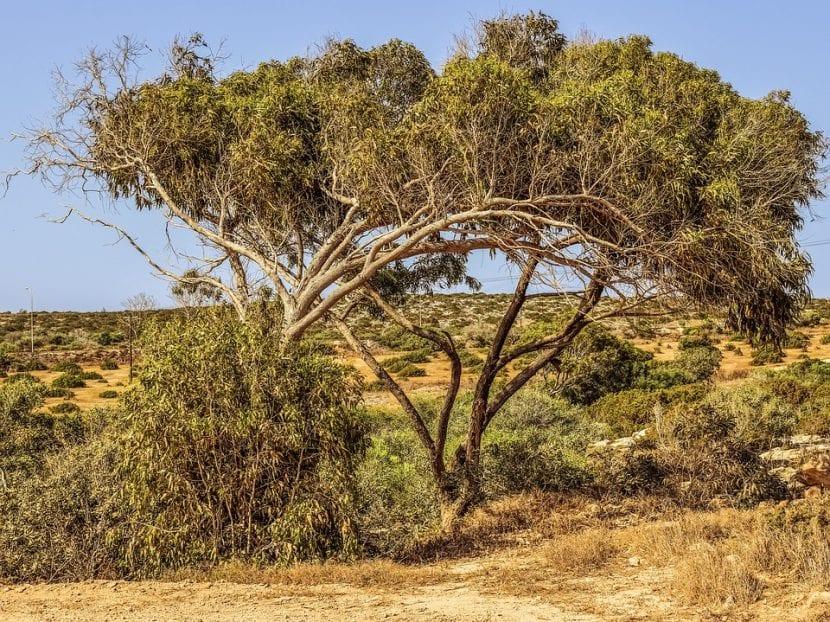 El eucalipto es un árbol siempreverde