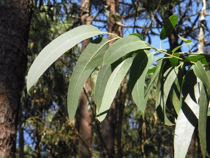 Las hojas del eucalipto son perennes