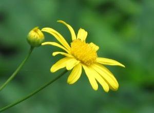 Vista de la flor del Euryops o margaritón