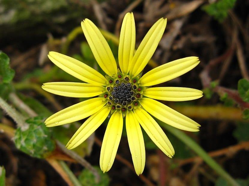 flor amarilla llamada Arctotheca caléndula