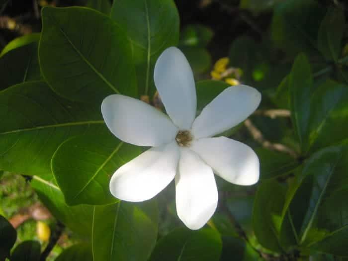 La flor de Tiaré es grande y blanca