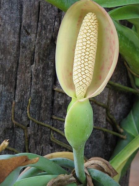 La flor del singonio es decorativa