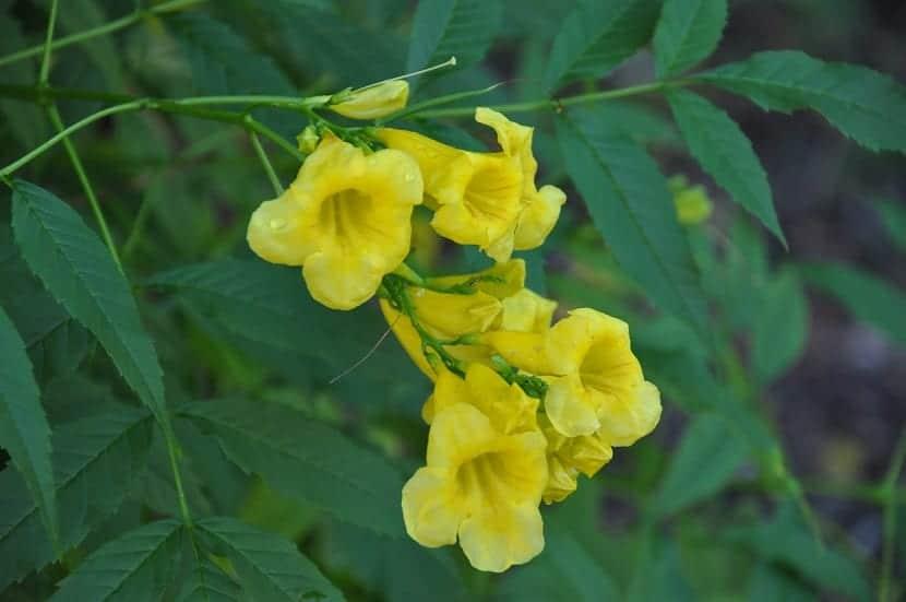 flores amarillas en forma de trompeta