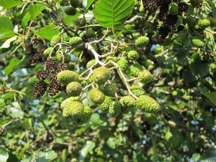 El Alnus o aliso suele florecer en primavera
