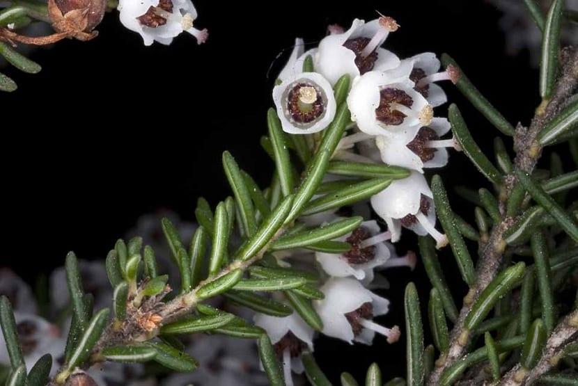 flores de erica arborea