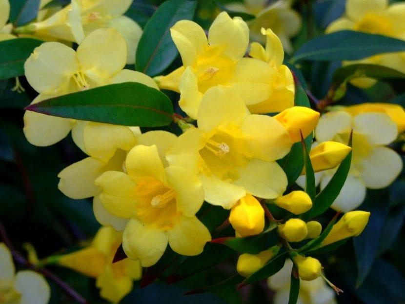 Las flores del Gelsemium son amarillas
