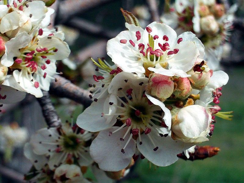 Flores del Pyrus bourgaeana