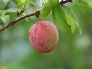 El fruto del ciruelo japonés es redondo