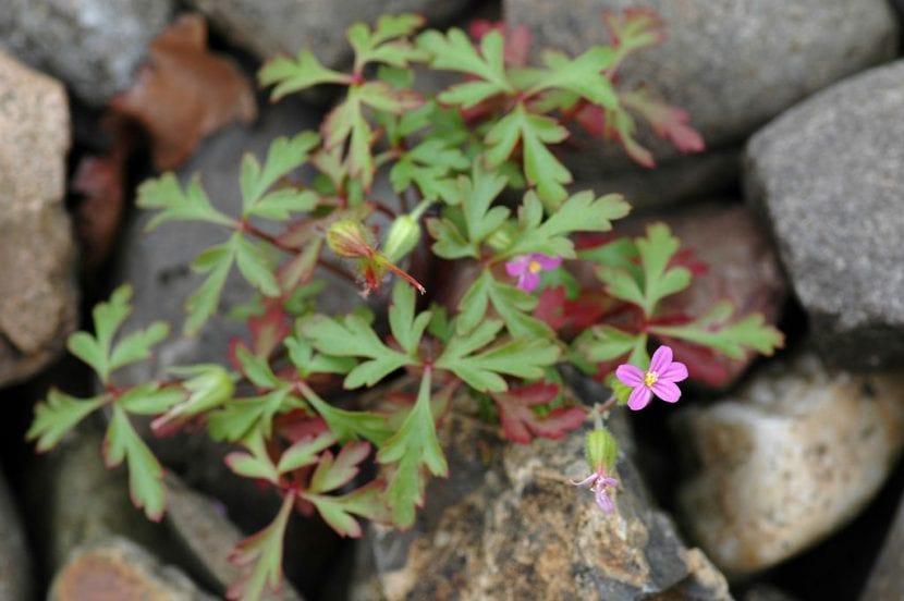 Vista del Geranium purpureum creciendo en hábitat