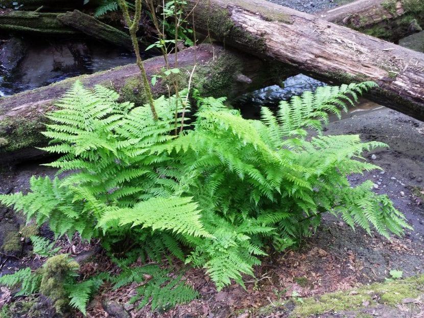 El helecho hembra es una planta muy decorativa