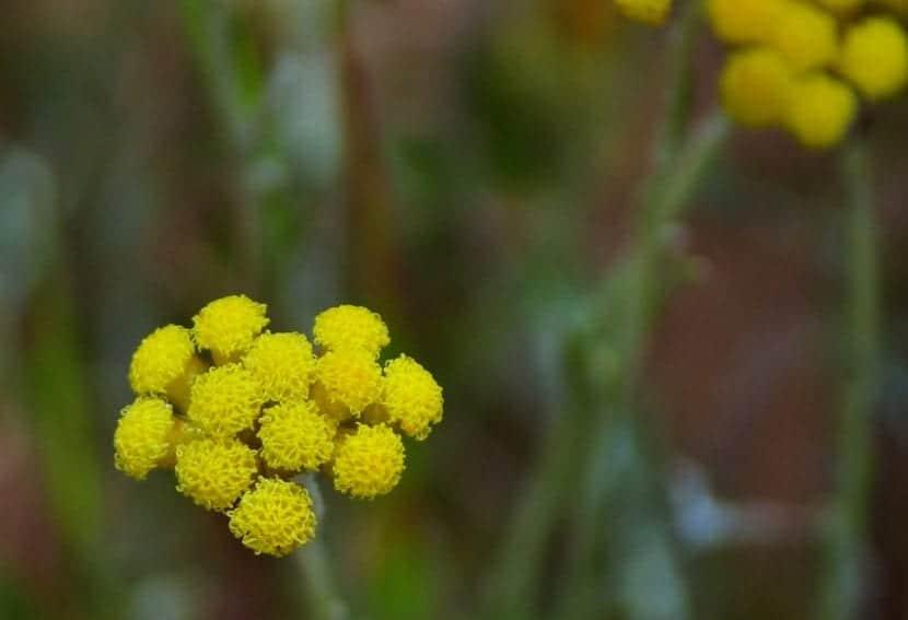 Las flores de la Helichrysum son pequeñas
