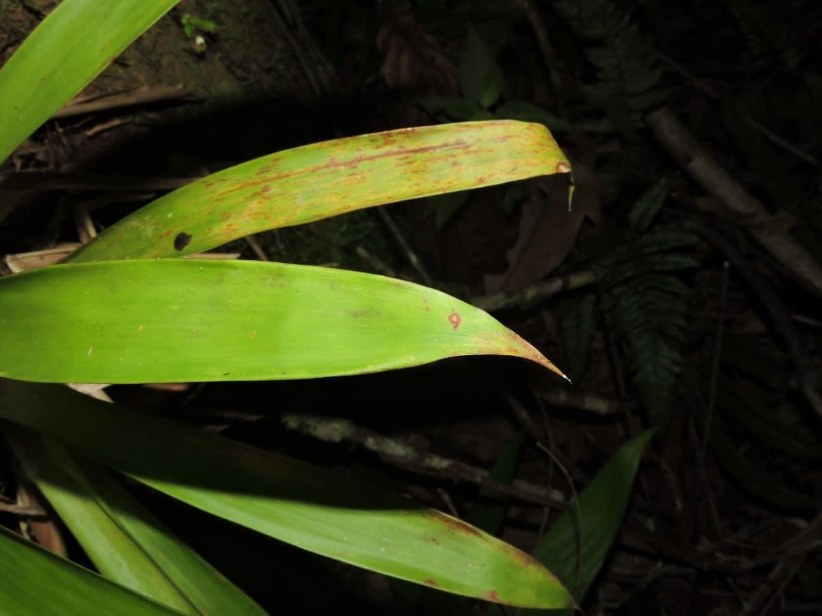 Las hojas de la Guzmania lingulata