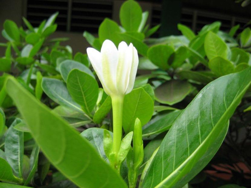 Las hojas de la flor de tiare son lanceoladas