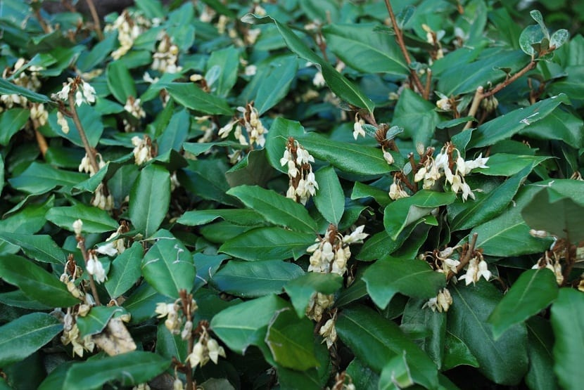hojas muy verdes y flores tipo campanilla de color blaco del arbusto Eleagnus ebbingei
