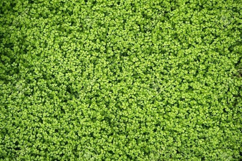 hojas pequeñas parecidas al musgo