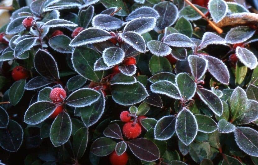 hojas y frutos de la planta Gaultheria procumbens despues de nevar
