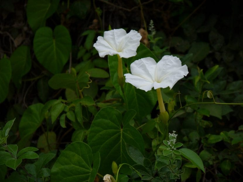 Ipomea violacea de flor blanca