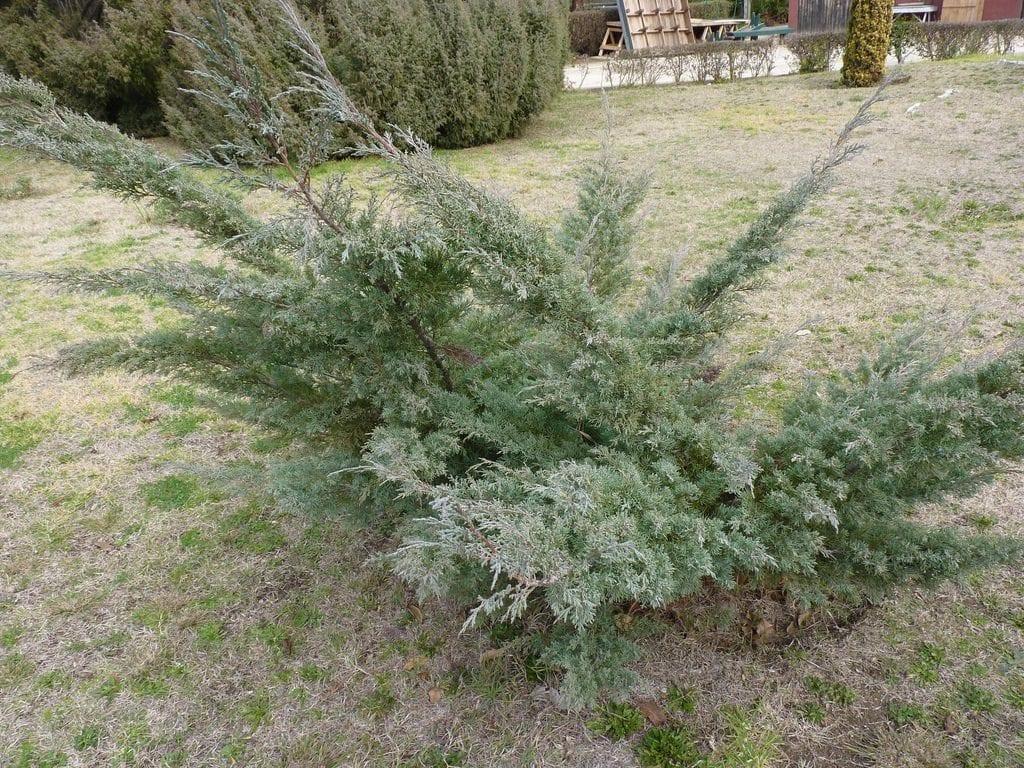 Vista del Juniperus chinensis